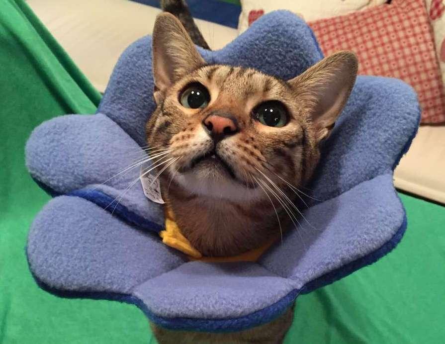 Katzen-Halskrause
