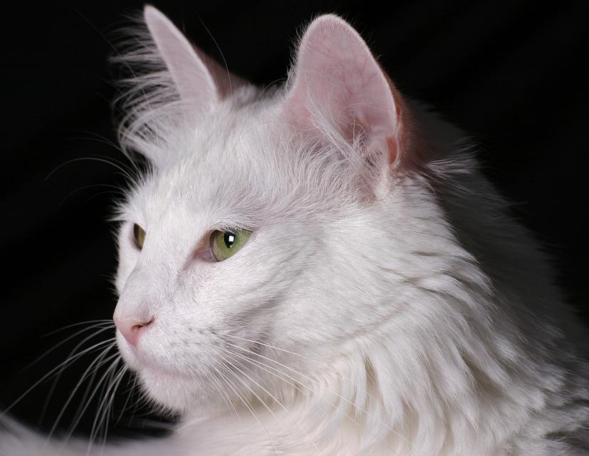 Kunkush Katze Fluechtling