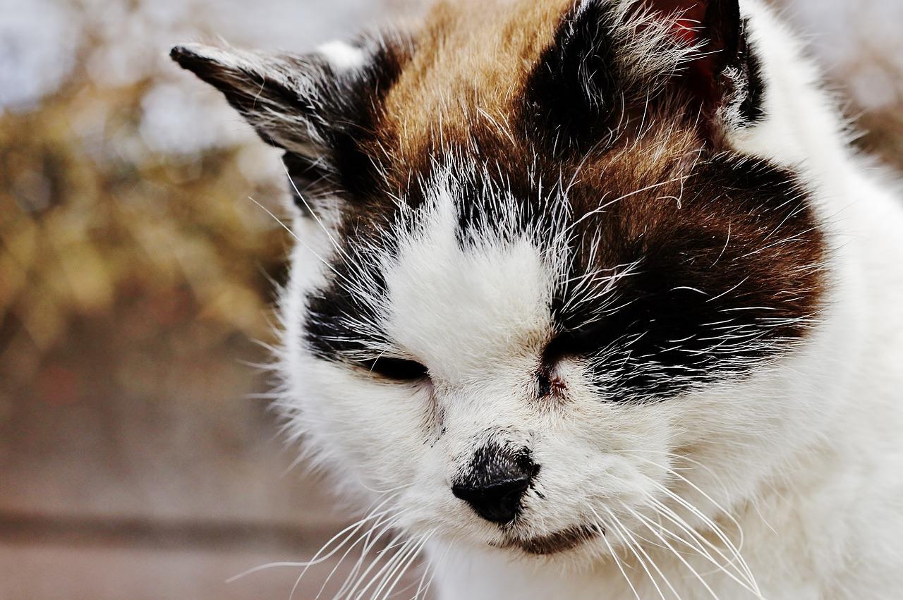 Schilddruesenüberfunktion Katze