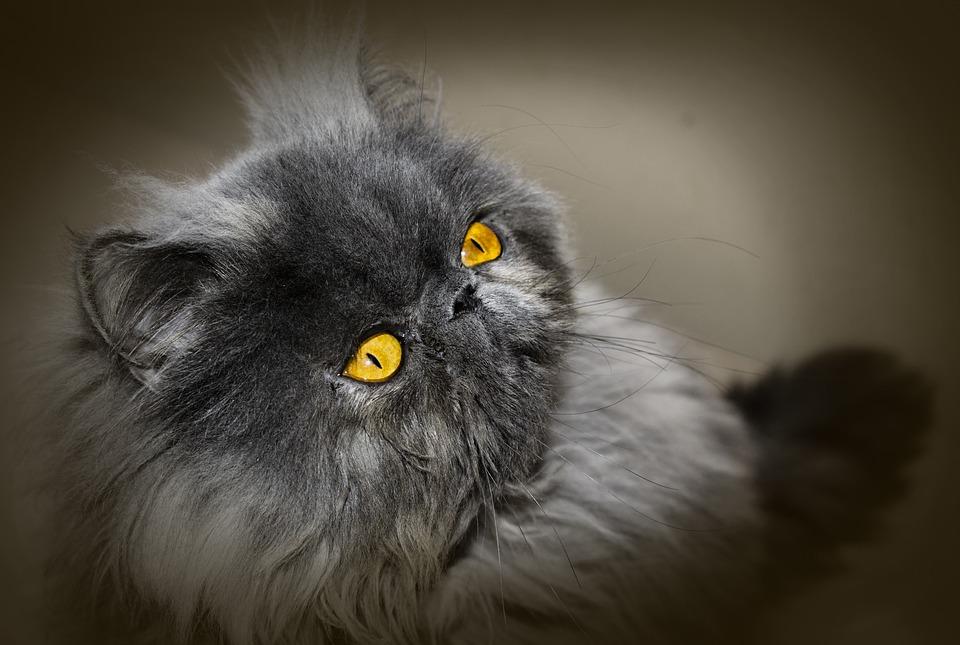 Brachycephalie Katze