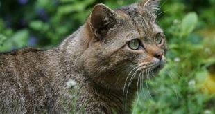 Europaeische Wildkatze Lueneburger Heide