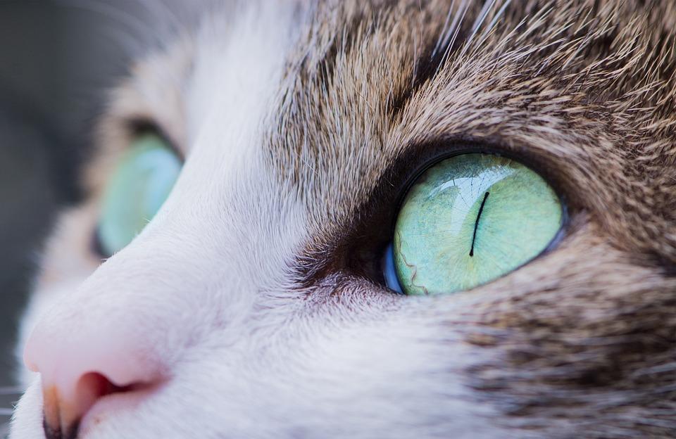orientalischer Augenwurm Katze