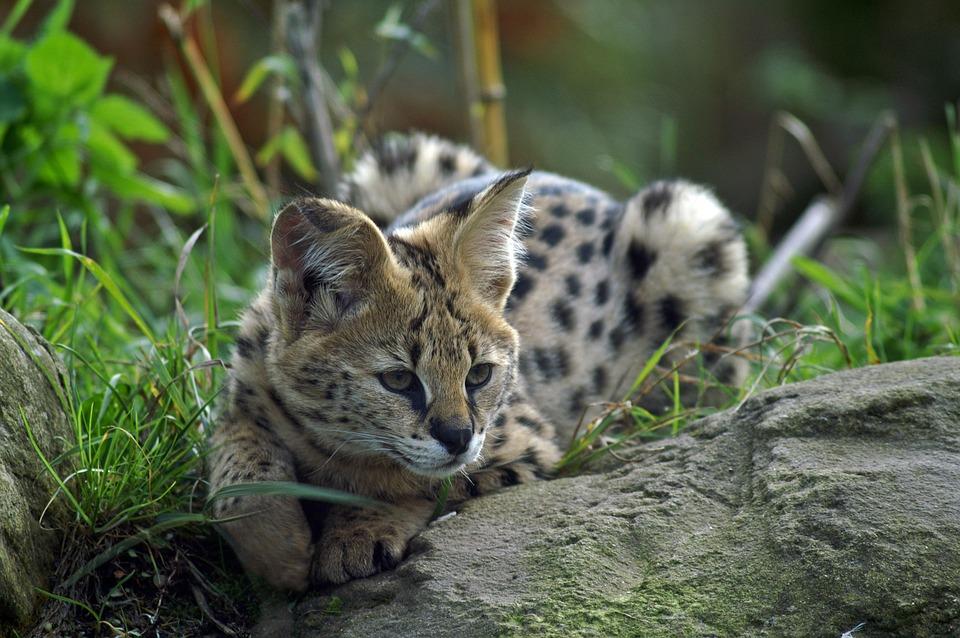 Serval Savannah Katzen
