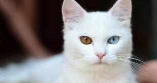 weisse Katze taub