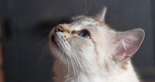 Katzen-Kratz-Krankheit Bartonellose