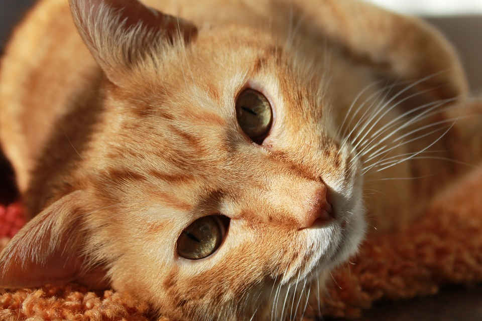Katze rollig statt Kastration